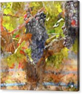 Red Grapes On The Vine During The Fall Season Acrylic Print