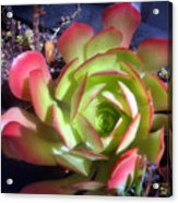 Red Green Succulent Acrylic Print
