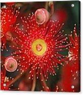 Red Gum Flower Macro Acrylic Print