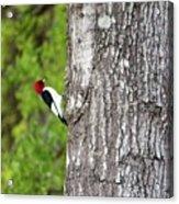 Red Head Bird Acrylic Print