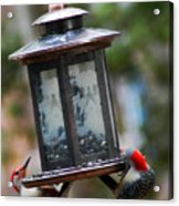 Red Head Wood Peckers On Feeder Acrylic Print