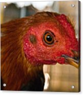 Red Headed Chicken Acrylic Print