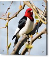Red-headed Woodpecker At A Glace  Acrylic Print
