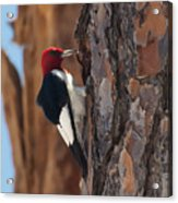 Red Headed Woodpecker Acrylic Print