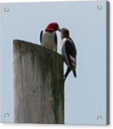 Red Headed Woodpeckers Acrylic Print