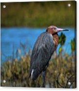 Red Heron Acrylic Print