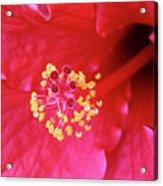 Red Hibiscus 3 Acrylic Print