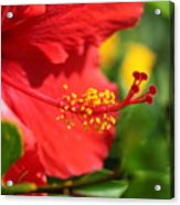 Red Hibiscus And Green Acrylic Print