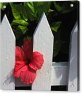 Red Hibiscus And White Fence Acrylic Print