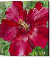 Red Hibiscus Acrylic Print
