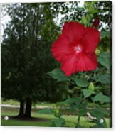 Red Hibiscus Highlights A Scene On The River Acrylic Print
