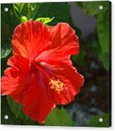 Red Hibiscus II Acrylic Print