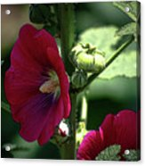 Red Hollyhock 1360 H_2 Acrylic Print