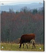 Red Holstein Of The Hills Acrylic Print