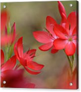 Red Hot Lilies Acrylic Print