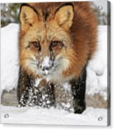 Red Hunter Acrylic Print