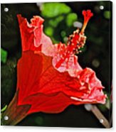 Red Hyacinth At Pilgrim Place In Claremont-california Acrylic Print