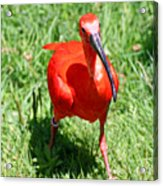 Red Ibis Acrylic Print