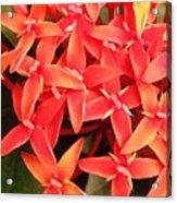 Red Indian Flowers Like Sunshine - Macro Photography Acrylic Print