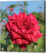 Red Intuition Hybrid Tea Rose, Red Stripe Rose Originally Pr Acrylic Print