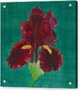 Red Iris Acrylic Print