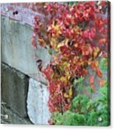 Red Ivy Acrylic Print