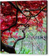 Red Japanese Maple Acrylic Print