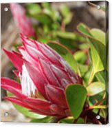 Red King Protea Bud Acrylic Print