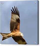 Red Kite Flying Acrylic Print