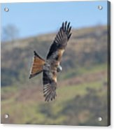 Red Kite Acrylic Print