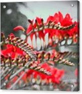Red Lady Fingers Acrylic Print