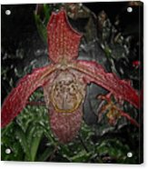 Red Lady Slipper Acrylic Print