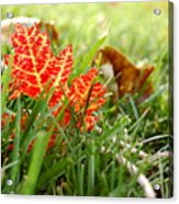 Red Leaf In Grass Acrylic Print
