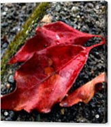 Red Leaves And Concrete Acrylic Print