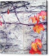 Red Leaves Growing By The Wall. Autumn Acrylic Print
