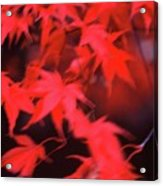 Red Leaves In Fall  Acrylic Print