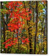 Red Leaves Of Autumn Acrylic Print