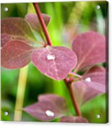 Red Leaves Plant Acrylic Print