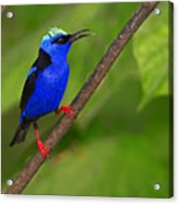 Red-legged Honeycreeper Acrylic Print