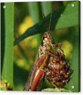 Red-legged Locust Acrylic Print