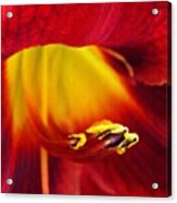 Red Lily Center 4 Acrylic Print