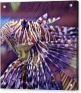 Red Lionfish Art Acrylic Print