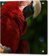 Red Macaw 2 Acrylic Print