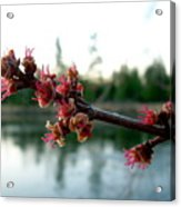 Red Maple Buds At Dawn Acrylic Print