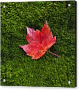 Red Maple Leaf  Acrylic Print