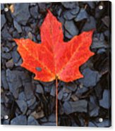 Red Maple Leaf On Black Shale Acrylic Print