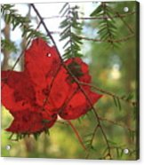 Red Maple Leaf On Hemlock Acrylic Print
