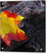 Red Maple Leaf On Old Log Acrylic Print