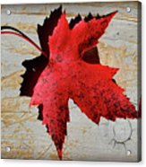 Red Maple Leaf With Burnt Edge Acrylic Print