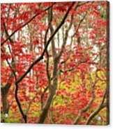 Red Maple Leaves And Branches Acrylic Print